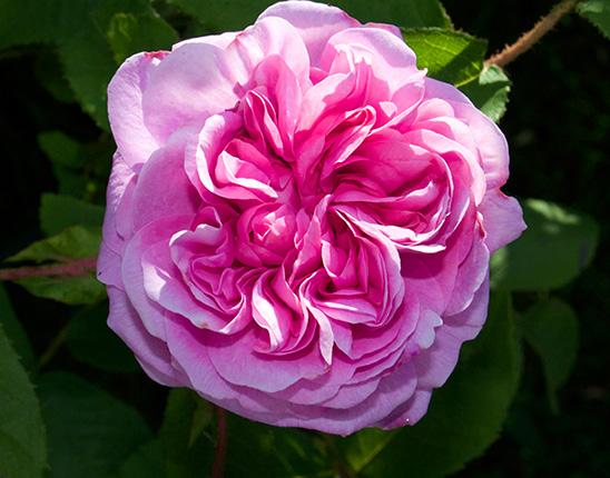 Роза Марокко