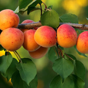 Гидролат абрикоса