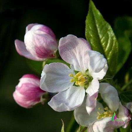 Гидролат яблоневого цвета
